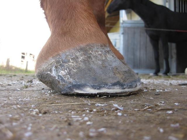 huf entzündung bei pferden